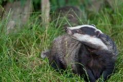 Badger cubs at set Stock Image
