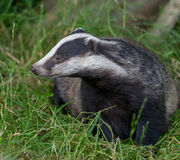 Badger cubs at set Royalty Free Stock Images
