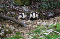 Badger Cubs at sett Royalty Free Stock Image