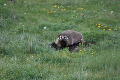 Badger Digging a Hole Stock Photography