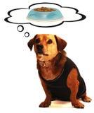 Badger dog. Little badger dog thoughtful food Royalty Free Stock Image
