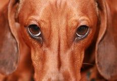 Badger-dog. Brown Badger dog closeup portrait Stock Images