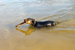 Badger-dog (dachshund) swim with stick. Stock Photography