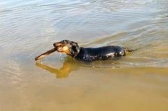 Badger-dog (dachshund) swim with stick. Black badger-dog (dachshund) swim with stick Stock Photography