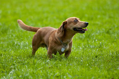 Badger dog on green royalty free stock image