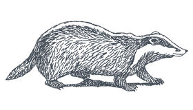 Badger drawing. Badger sketch drawing isolated on white background Stock Image