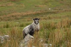 Badger face lamb. Royalty Free Stock Photography