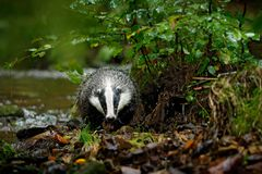 Badger in forest, animal in nature habitat, Germany, Europe. Wild Badger, Meles meles, animal in wood, autumn pine green forest. M royalty free stock image