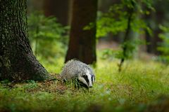 Badger in forest, animal in nature habitat, Germany, Europe. Wild Badger, Meles meles, animal in wood, autumn pine green forest. M stock images