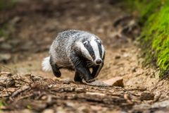 Badger in forest, animal in nature habitat, Germany, Europe. Wild Badger, Meles meles, animal in the wood. Mammal in environment, stock photos