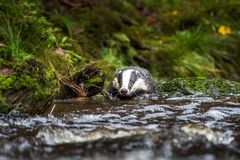 Badger in forest, animal in nature habitat, Germany, Europe. Wild Badger, Meles meles, animal in the wood. Mammal in environment, royalty free stock photo