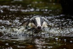 Badger in forest, animal in nature habitat, Germany, Europe. Wild Badger, Meles meles, animal in the wood. Mammal in environment, stock image