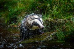 Badger in forest, animal in nature habitat, Germany, Europe. Wild Badger, Meles meles, animal in the wood. Mammal in environment, royalty free stock photos