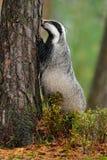 Badger in forest, animal nature habitat, Germany, Europe. Wildlife scene. Wild Badger, Meles meles, animal in wood. European badge Stock Images