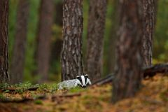 Badger in forest, animal nature habitat, Germany, Europe. Wildlife scene. Wild Badger, Meles meles, animal in wood. European badge. R, autumn pine green forest stock photo