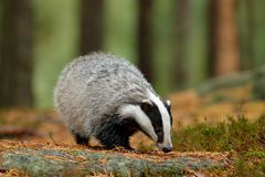 Badger in forest, animal nature habitat, Germany, Europe. Wildlife scene. Wild Badger, Meles meles, animal in wood. European badge Royalty Free Stock Photography