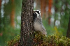 Badger in forest, animal nature habitat, Germany, Europe. Wildlife scene. Wild Badger, Meles meles, animal in wood. European badge Royalty Free Stock Photos