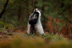 Badger in forest, animal nature habitat, Germany, Europe. Wildlife scene. Wild Badger, tongue, animal in wood. European badger, au. Tumn pine green forest stock photography