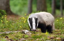 Badger in forest Stock Photography