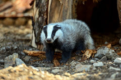 Badger in the forest Stock Images