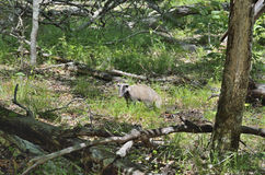 Badger in forest 1 Stock Photography