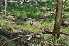 Badger in forest 5 Stock Image