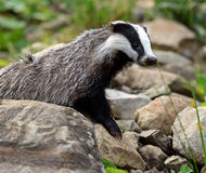 Badger in the forest Royalty Free Stock Images