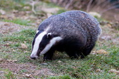 Badger going for a walk Royalty Free Stock Images