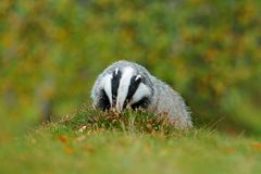 Badger in green forest, animal in nature habitat, Germany, central Europe. Wildlife scene from nature. Animal in wood. Cute black. Animal Stock Image