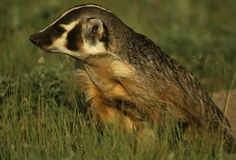 Badger in Green Grass. A badger standing in green grass on the prairie Stock Image