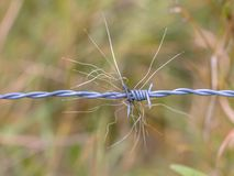 Badger hair trace. In barbed wire royalty free stock photography