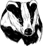 Badger head Stock Photo