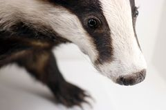Head detail of a stuffed badger taxidermy standing on a white surface Stock Images