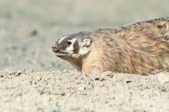 Badger at his den. Badger close up, North Dakota Badlands Royalty Free Stock Photo