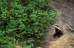 Badger at a hole. Royalty Free Stock Images