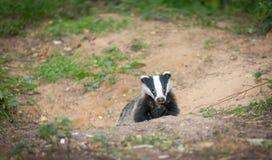 Badger il meles del Meles del cucciolo che emerge dal pavè del tasso Immagini Stock