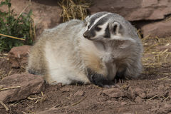 Badger. Leaving den for daytime adventure Royalty Free Stock Photography