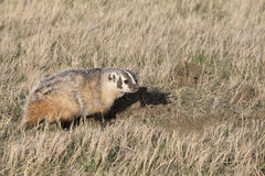 Badger making den on prairie Stock Image