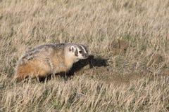 Badger making den on prairie. Badger making a den in springtime Stock Image