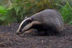 Badger Meles meles stock image