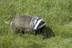 Badger - Meles meles Royalty Free Stock Photography