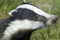 Badger - Meles meles. Badger out for an evening stroll Stock Photo