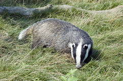 Badger - Meles meles Stock Photography