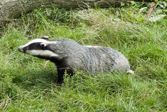 Badger - Meles meles Stock Image