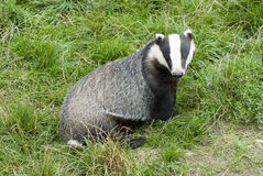 Free Badger - Meles Meles Stock Photos - 10158143
