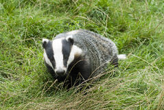 Badger - Meles meles Stock Photo