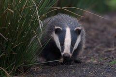 Badger Meles meles stock images
