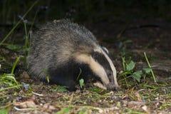 Badger - Meles meles Stock Image