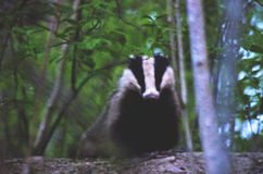 Badger Meles meles at night walk Stock Photos