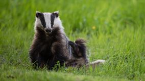 Badger scratching his side Stock Photos